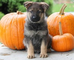 germanshephardpup_pumpkins